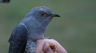 A Cuckoo bird.