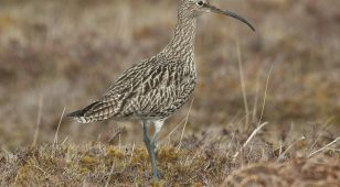 Curlew numbers are declining across the UK.