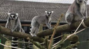 Ring-tailed lemurs at Kirkley Hall Zoo enjoy the new festive addition to their enclosure.